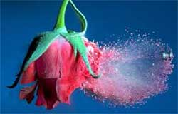 rosa in esplosione