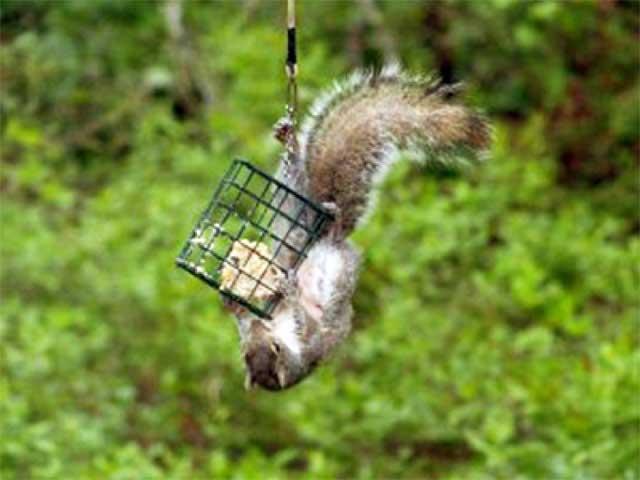 scoiattolo gioca con gabbia