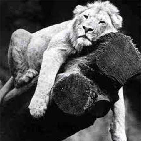 leone su ramo